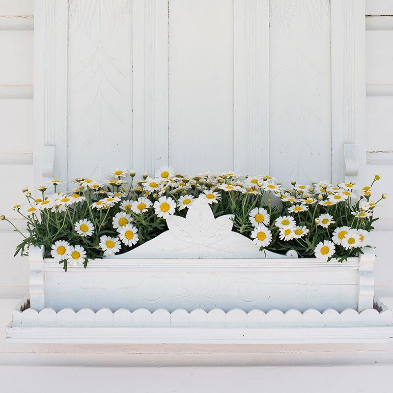 hvite margeritter i blomsterkasse.jpg