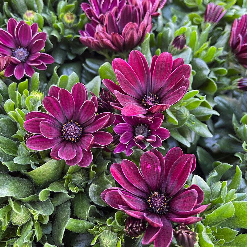 margeritter grandaisy lilla