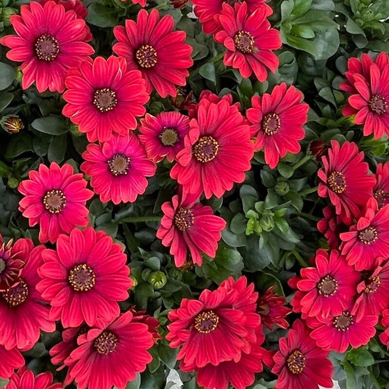 spanske margeritter røde