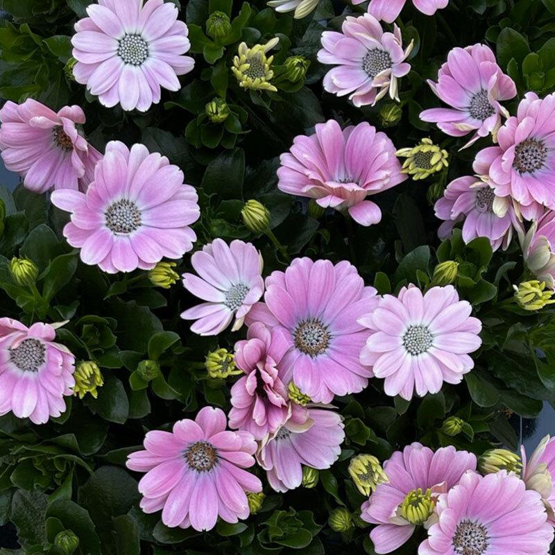 spanske margeritter rosa