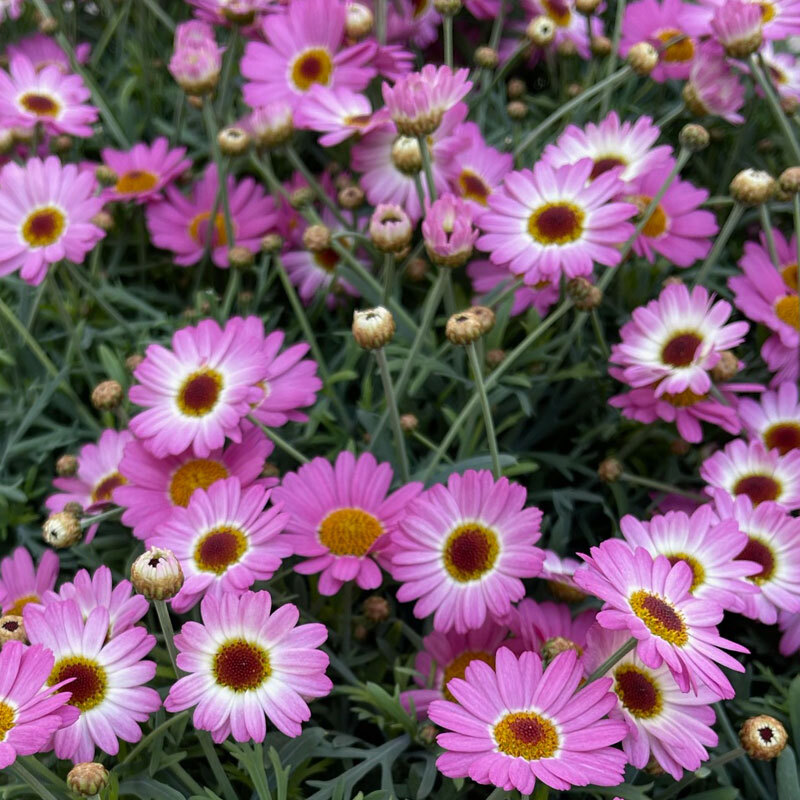 spanske margeritter-rosa og hvit