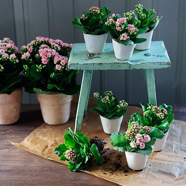 calandiva-i-krukker-og-potter-pynter-opp-i-lyse-og-rosa-farger.jpg