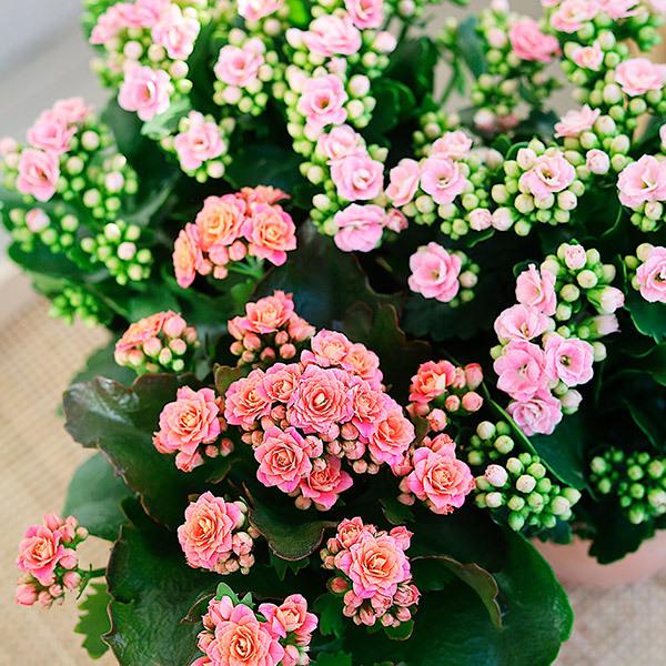 calandiva-rosa-bugner-av-friskhet.jpg