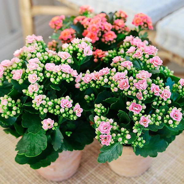 calandiva-rosa-og-lys-roede-i-potter.jpg