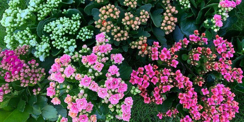 Calandiva - populær fargeklatt