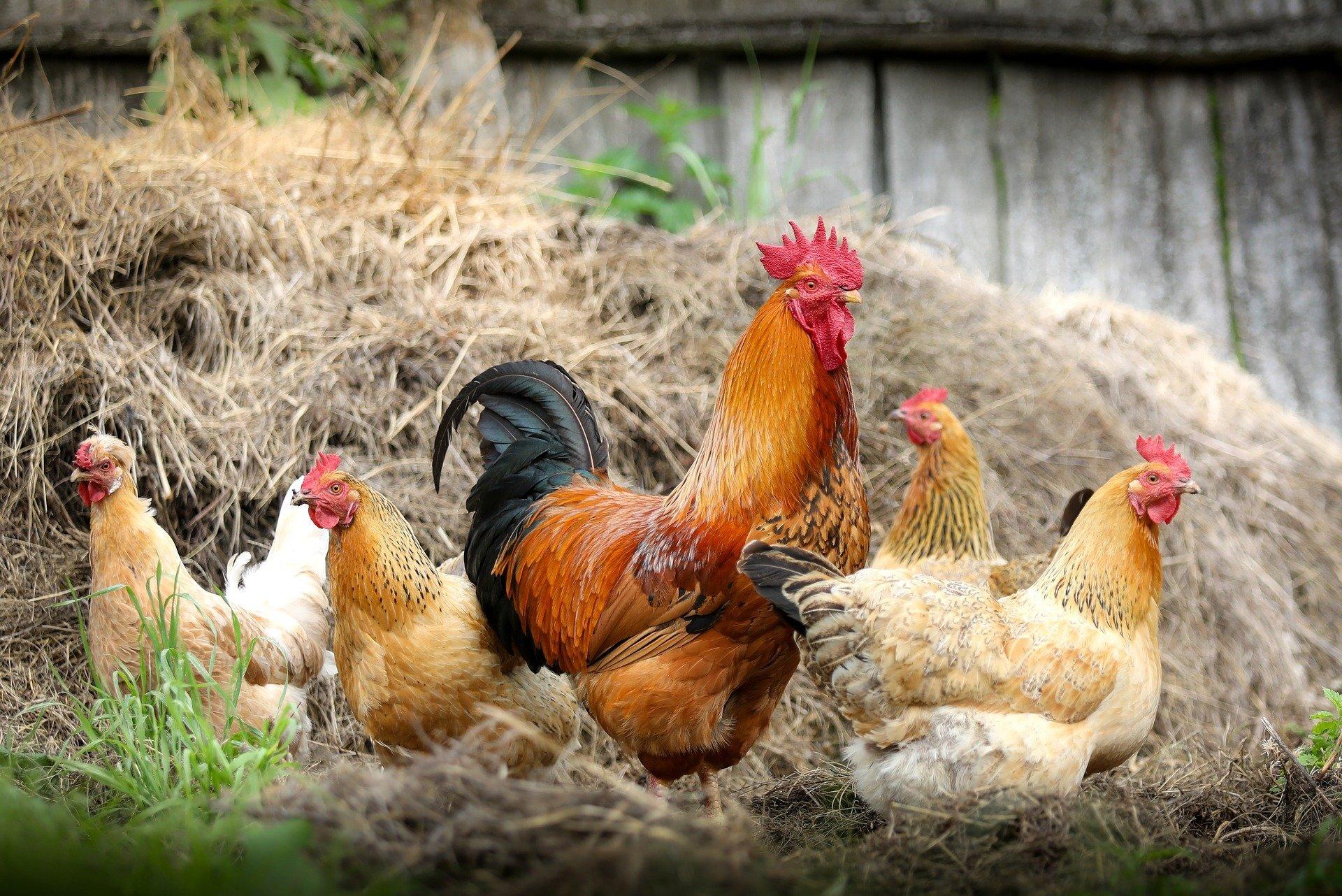 chickens-2522623_1920.jpg