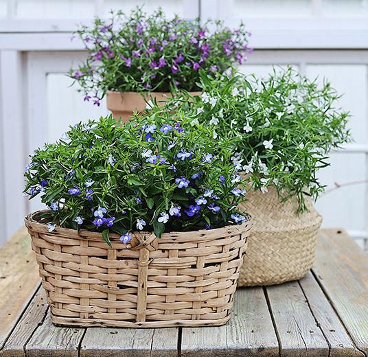 lobelia i kurv og potte blå lilla og hvit