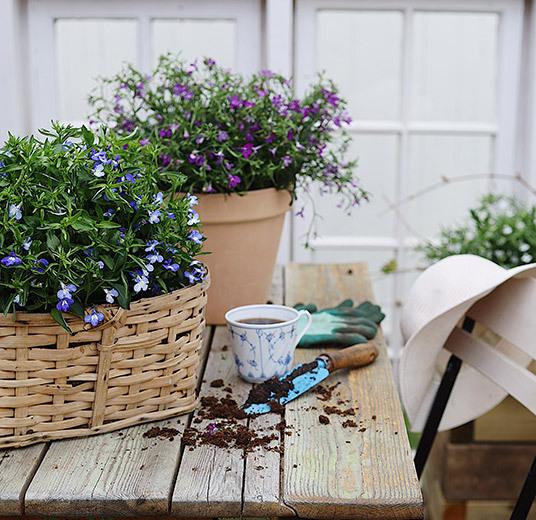 lobelia i kurv og potte blå lilla