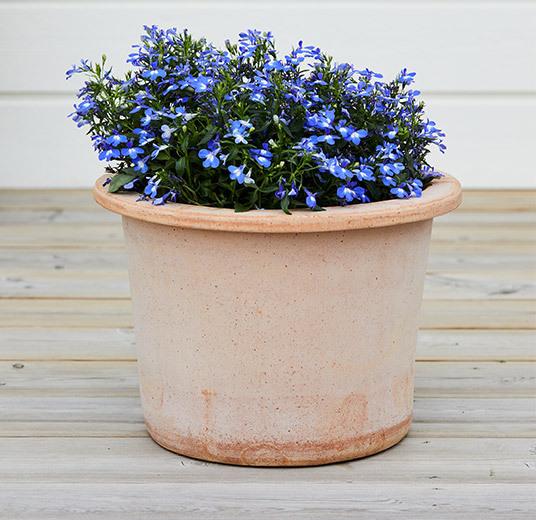 lobelia i potte blå