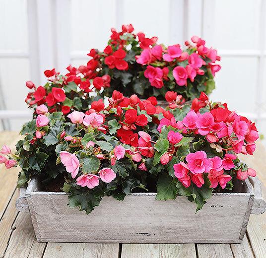 betulia i kasse rosa og røde