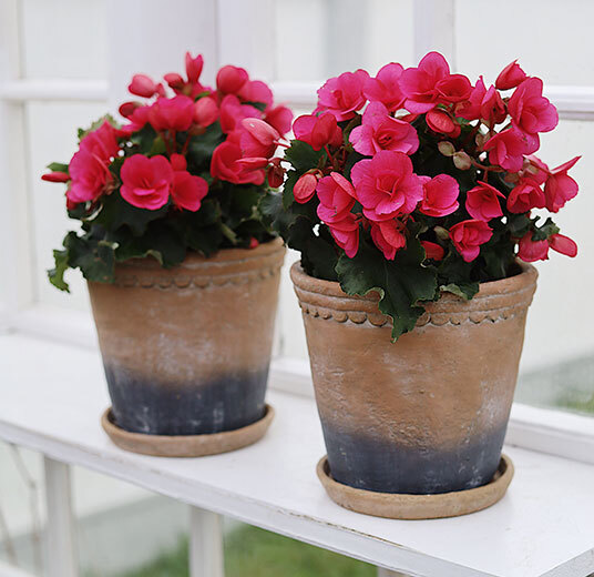 betulia i potter rosa og røde i vinduskarmen