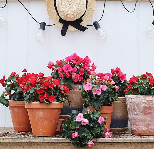 betulia i potter rosa og røde pynter opp