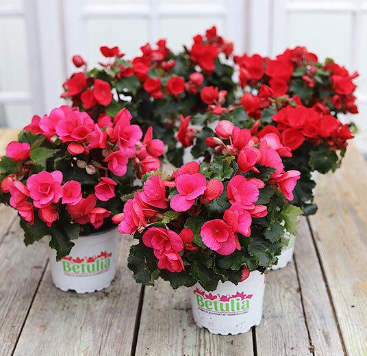 betulia rosa og røde elsker vi på sommeren