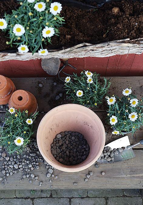 utplanting-av-margeritter-i-store-potter.jpg