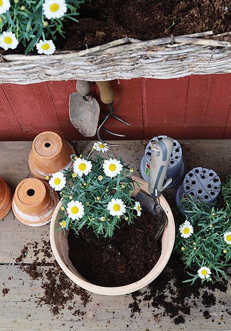 utplanting-margeritter-i-potter-med-jord.jpg