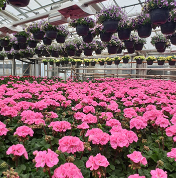 pelargonia-i-gartnerhall-i-full-blomst.jpg