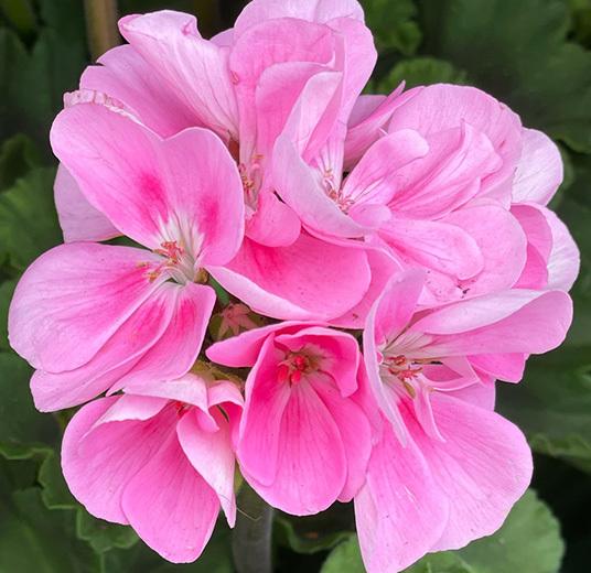 praktfulle-pelargonia-i-full-blomst-.jpg