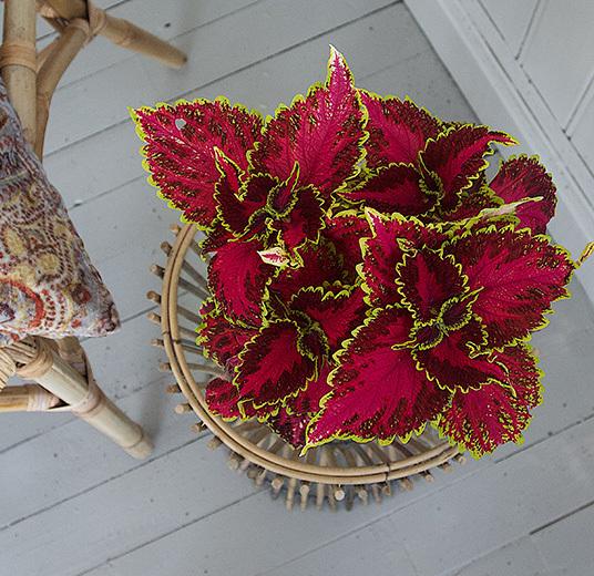 ranli-ranveig-coleus-crown-jewel-.jpg