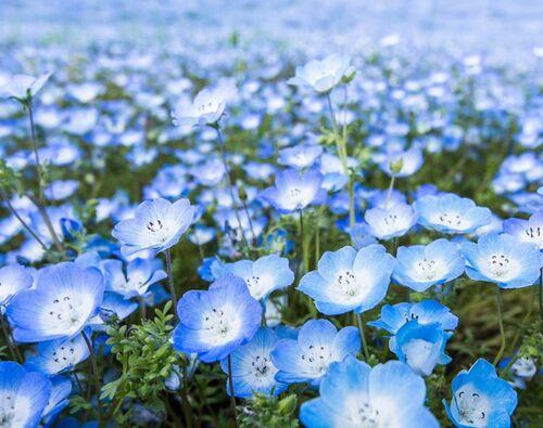 Blomster blå