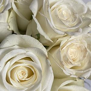 natures-white-favorittroser-floriss.jpg
