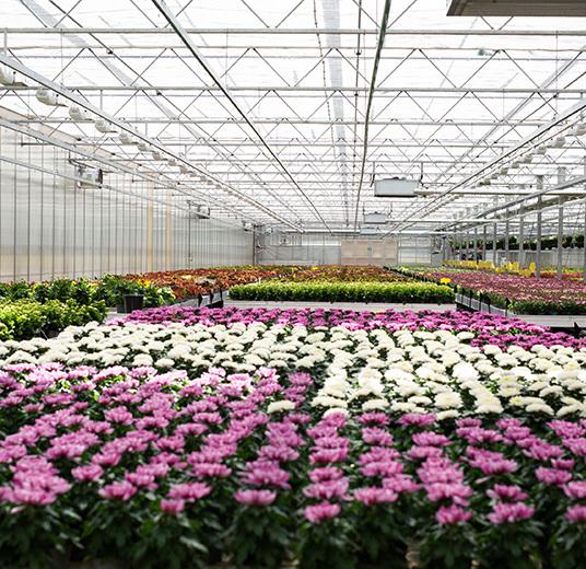 blomster-dyrket-i-norge-gartneri-blomsterhav-alle-farger.jpg