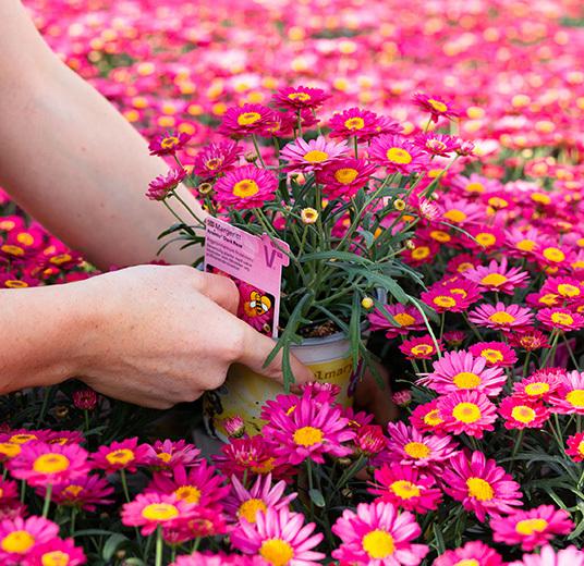 blomster-dyrket-i-norge-gartneri-dame-plukker-potteplanter.jpg