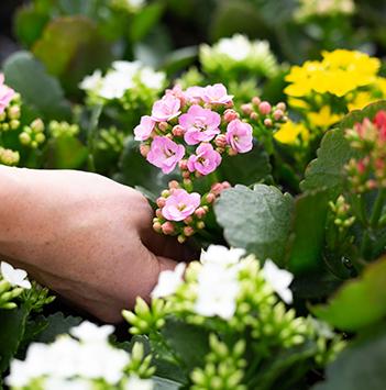 blomster-dyrket-i-norge-gartneri-plukk.jpg