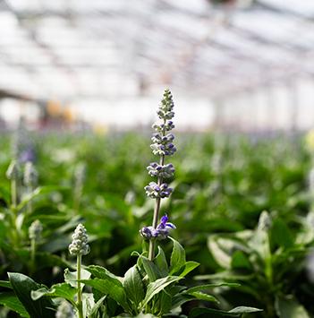 bievennlige-blomster-lavendel-i-gartneriet.jpg