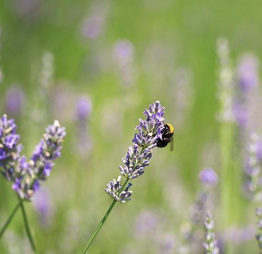 bievennlige-blomster-lavendel.jpg