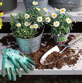 bievennlige-blomster-margeritter.jpg