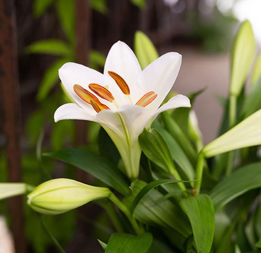 den-mest-populaere-sorten-lilium-longiflorum-har-faatt-navnet-martha-liljer-etter-kronprinsesse-martha.jpg