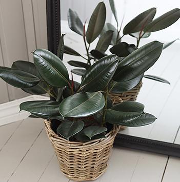 ficus-elastica-gummiplante-gummifiken-ranli-ranveig-2021.jpg