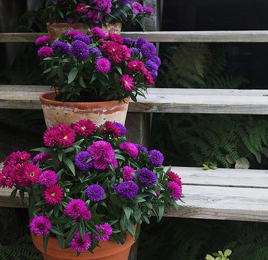 asters-mix-plante-potteplante-2.jpg