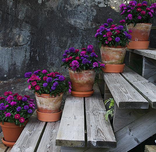 asters-mix-plante-potteplante.jpg