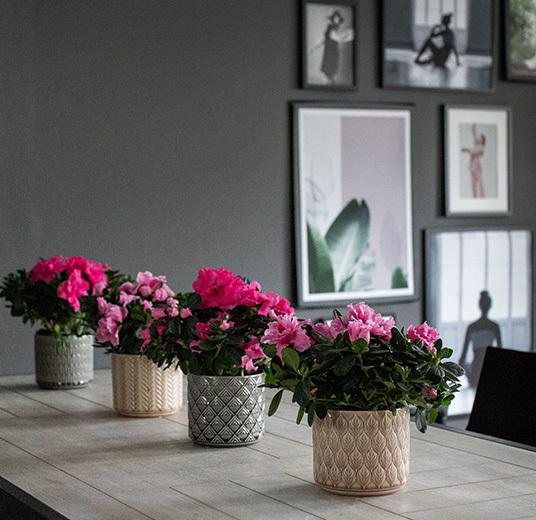 azalea-rosa-floriss-1.jpg
