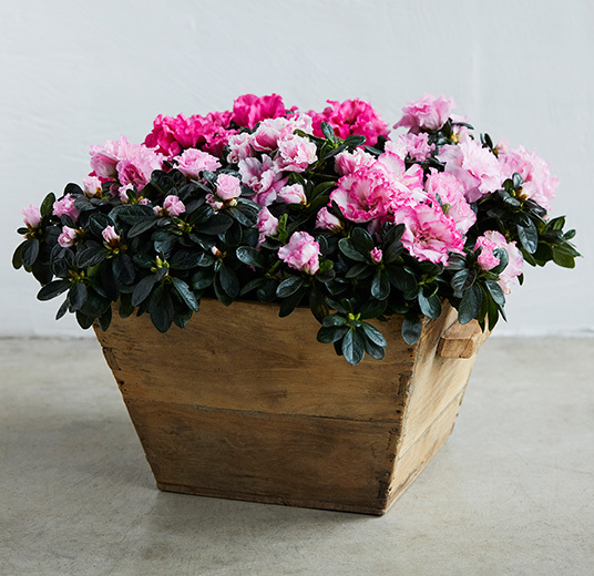 azalea-rosa-floriss-2.jpg