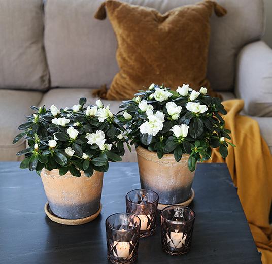 azalea-hvit-floriss-8.jpg