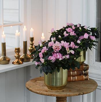 azalea-rosa-floriss-9.jpg