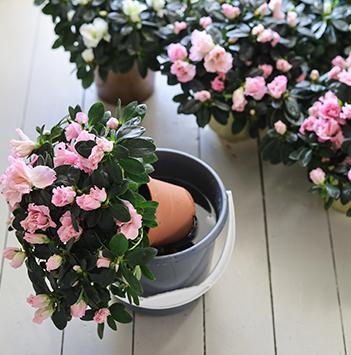 azalea-rosa-floriss-10.jpg