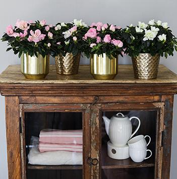 azalea-rosa-floriss-11.jpg